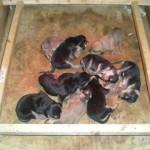 Cuccioli accoppiamento Chiara X Tango di Pontenizza